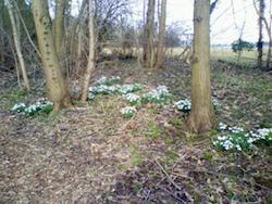 Snowdrops in Moggerhanger Park